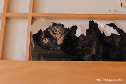 猫、障子から顔出す